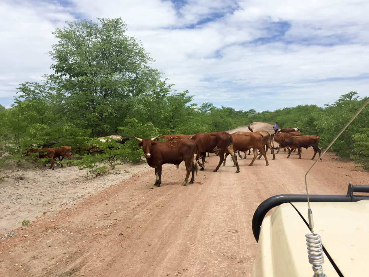 Cow Crossing African Road