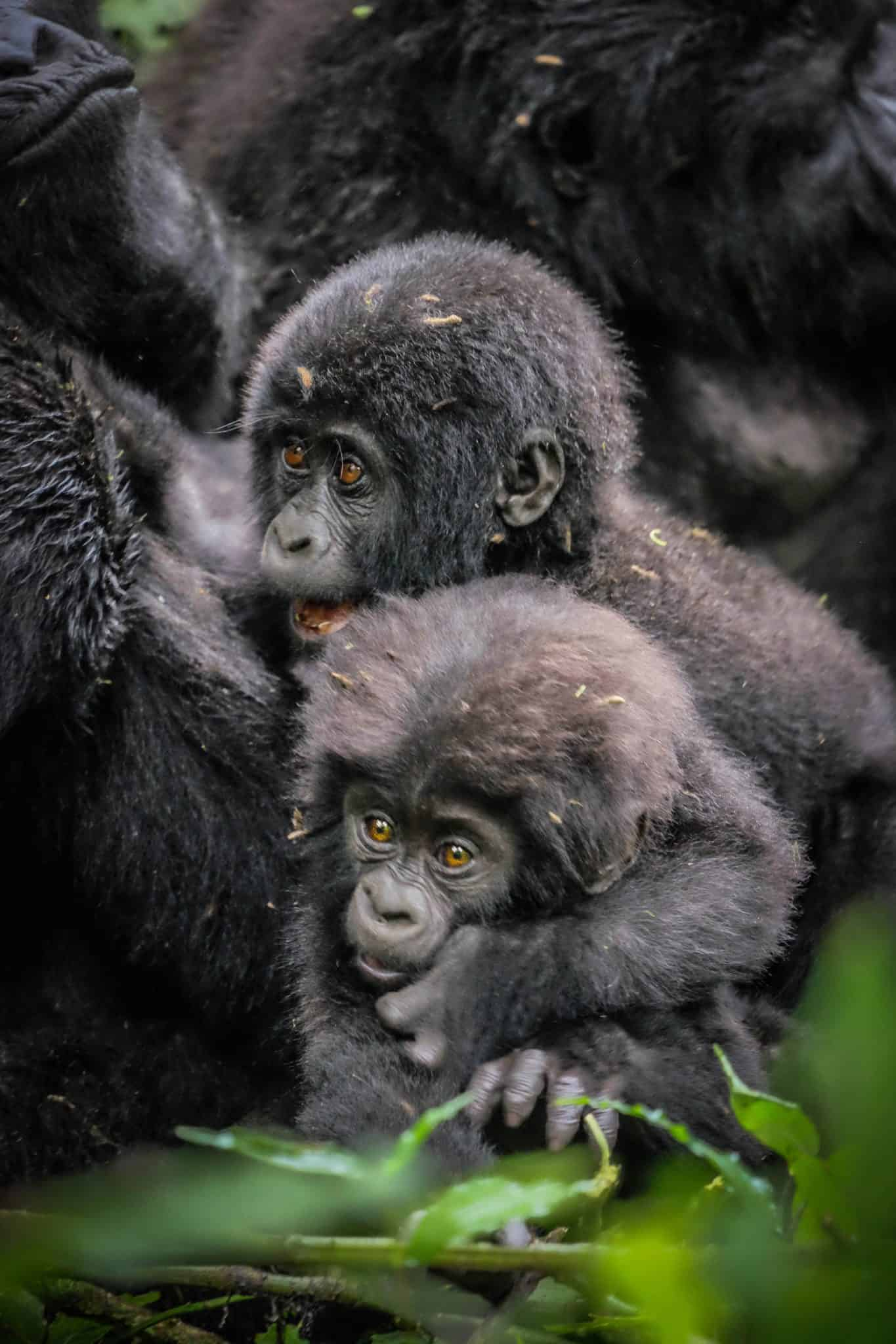 Gorilla Bwindi Impenetrable Forest