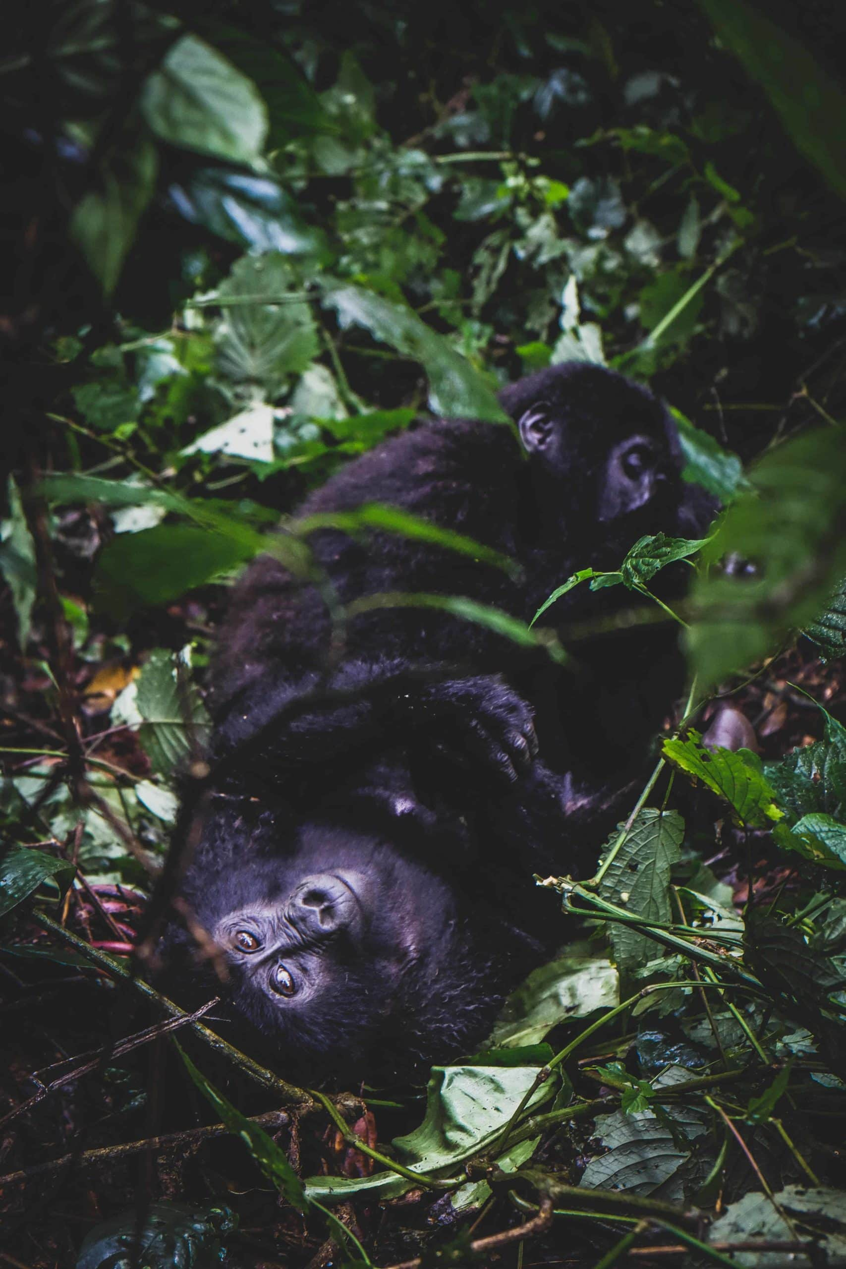 Gorilla Lounging
