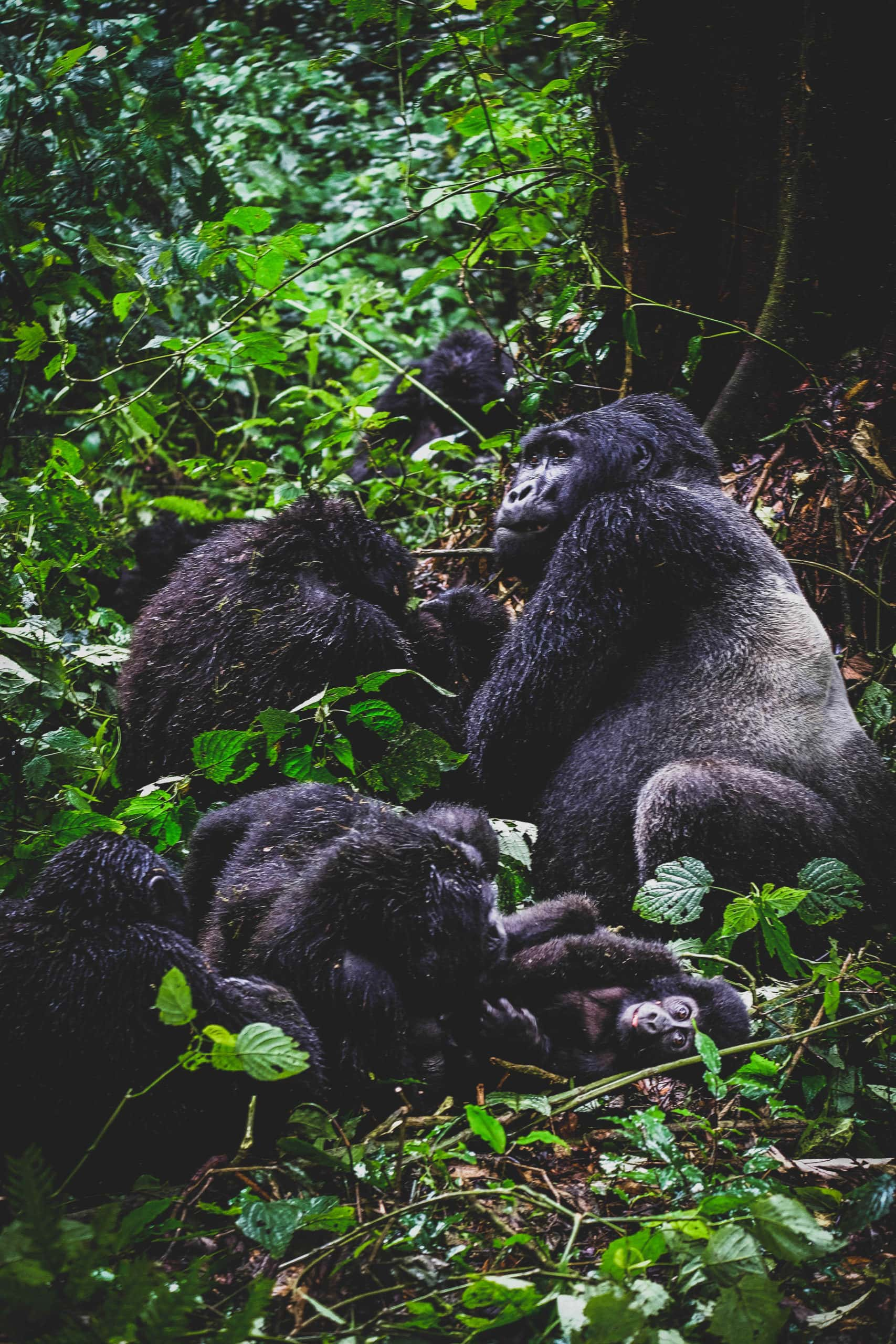Gorilla Family in Bwindi Impenetrable Forest