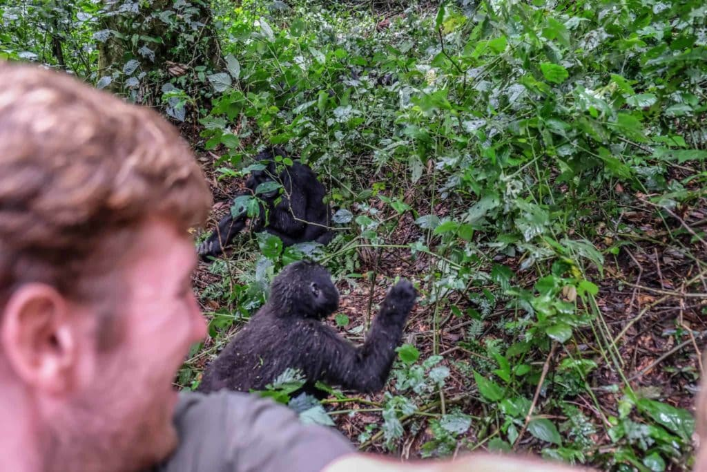 Young Gorilla Interaction